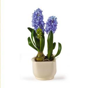 flower hyacinth