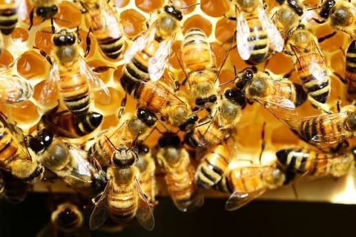 honey miere bees albine