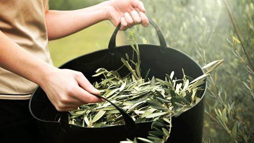 ceai de maslin,frunze de maslin